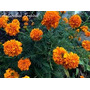 Flor Clavelon Rosa De La India, Enana Doble Naranja