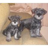 Lindos Cachorritos Schnauzer Miniaturas