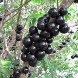 12 Sementes De Jabuticaba Olho De Boi Para Mudas - Fruta