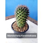 Mudas Cactos Cactus Com Vaso P.11 Mammillaria Karwiniskiana