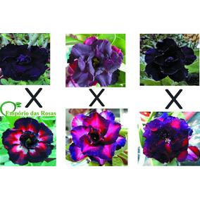 Kit 20 Sementes Negras Rosa Do Deserto Frete Grátis