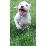 American Pit Bull Terrier (pitbull), Última Fêmea!