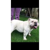 Hermosas Perritas Bulldog Inglès Y Francès Inscritas