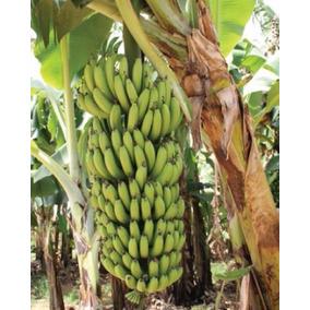 2 Mudas Banana Nanicão Gigante Para Sítios Chácaras Fazendas