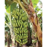 2 Mudas Banana Nanicão Gigante Sítios Chácara Jardim Fazenda