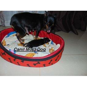 Pinscher Femea 18 Dias Enviamos Moju Dog Fotos 23/06