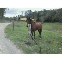 Cavalo De 6 Anos Manga Larga Com Campeiro Só Macha Manso
