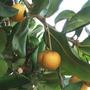 Mudas De Maçaranduba Do Caribe - Balata - Rara E Deliciosa!