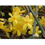 Jazmin Amarillo:planta Trepadora 1,50-2 M. X 2 Unidades