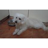 Regalo O Doy En Adopcion Perrita Poodle Esterilizada 4 Años