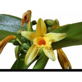 5 Mudas De Baunilha Legítima. Raríssima! Bonsai! Orquídea
