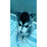 Cachorros Huski Siberiano