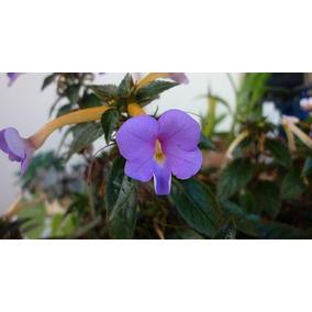 7 Rizoma De Violeta Pendente