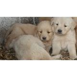 Golden Cachorros!! Una Ternura!!!