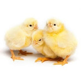 Pollos Bebe Para Engorde De Primera La Caridad