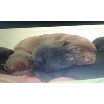 Perros Labradores Retirevers Color Negro Y Arena.