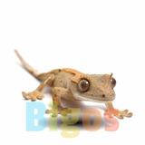 Gecko Crestado Con Certificado De Origen - Bigos