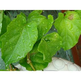 Planta Insulina 1.5metros Cissus Verticillata Diabetes