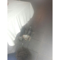 Cachorra Yorkie Mini
