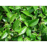 Plantas De Te Verde Camellia Sinensis 30-40cm