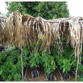 Cacao Manual De Cultivo Y Proyecto De Siembras De Cacao