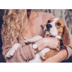 Beagle La Mejor Mascota Para Tu Familia
