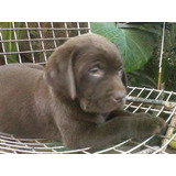 Ultimo Cachorros De Labrador Retriever Chololate Con F.c.a.
