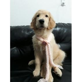 Cachorro De Raça Golden Retriever Femea, Com 4 Meses.