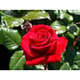 10 Sementes Rosa Vermelha Flores Red Planta Exótica