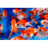Goldfish Carassius Peces Agua Fria Surtidos 3,5cm