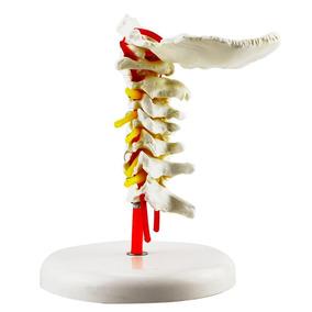 Columna Cervical Vertebras Con Arterias Y Nervios
