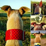 Collar-martingale Para Perros-galgos Tapicería.