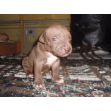 Cachorros Pitbull American Stanford