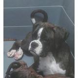 Hermoso Cachorro Boxer, Pedigree, Acepto Cambios