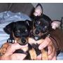 Filhotes Lindos!!!!! Pinscher Miniatura Machos Disponíveis