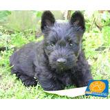 Scottish Terrier (scotch), Divinos Cachorritos Pedigree, Msi