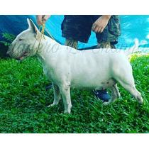 Bull Terrier La Shannaf.c.a.pedigree Los Mejores Seguro