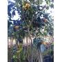 Mandarinas Dulces,(c/frutos A La Vista).-