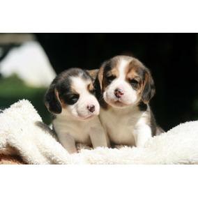 Cachorros Beagles Excelentes! Fca