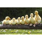 Patos Y Gallinas De Guinea