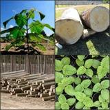 Paulownia Elongata Arvore De Crescimento Rapido 200 Sementes