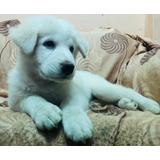 Lindos Cachorros Samoyedo Blancos Como La Nieve