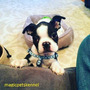 Boston Terrier Encantadores!!!