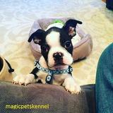 Boston Terrier Encantadores!!!