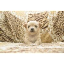 Filhotes Chihuahua Pelo Longo