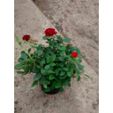 Mini Rosa O Rosa Rococó M12