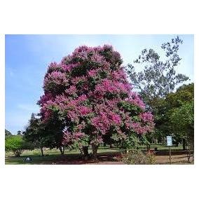 Sementes Resedá Gigante Lagerstroemia Speciosa Flor P/ Mudas