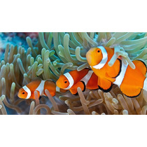 Amphiprion Ocellaris (peixe Palhaço) 4 A 5cm