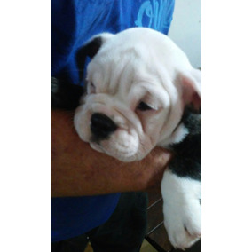 Bulldog Ingles Cachorros Con Fca !!!!!!