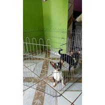 Chihuahua- Fêmea P Longo E Casal P Curto Com 12 Meses!